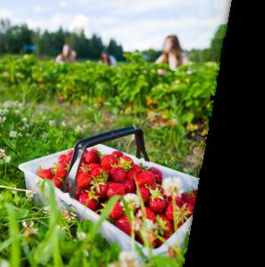Erdbeeren-info